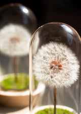 Preserved dandelion dome in a vase with free delivery in singapore fun sized cute and petite