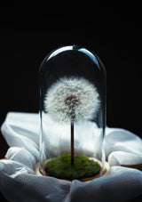 Preserved dandelion flower in a thick glass dome ideal floral gifting display piece for table in singapore