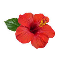Hibiscus leaves and flower