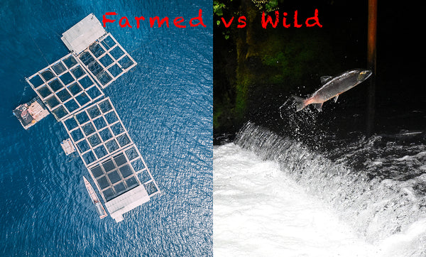 Farmed vs Wild Salmon