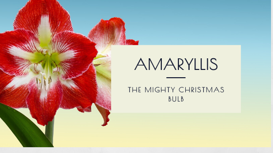 The Mighty Amaryllis