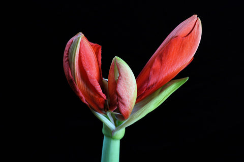 Amaryllis Bulbs