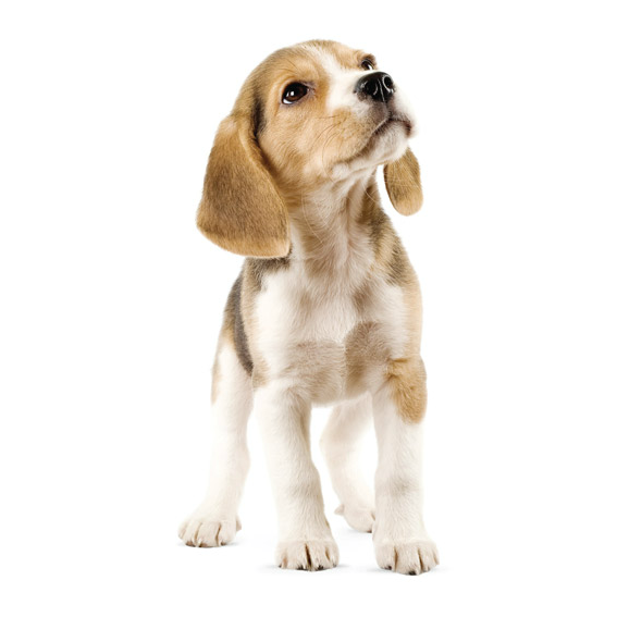 Beagle Wall Sticker