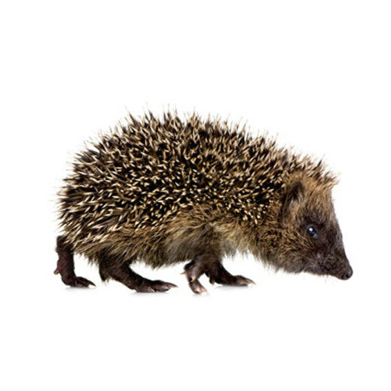 Hedgehog Wall Sticker