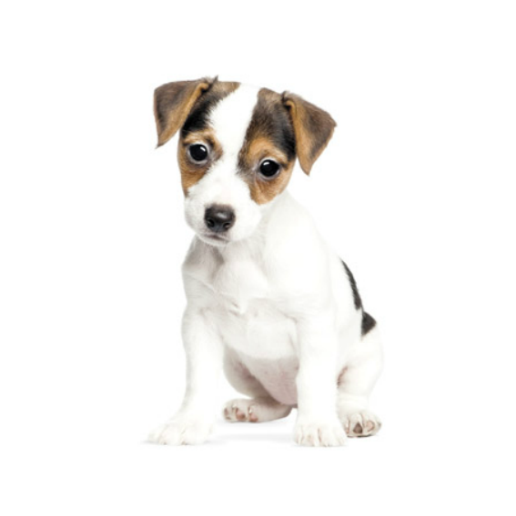 Jack Russell Terrier Wall Sticker