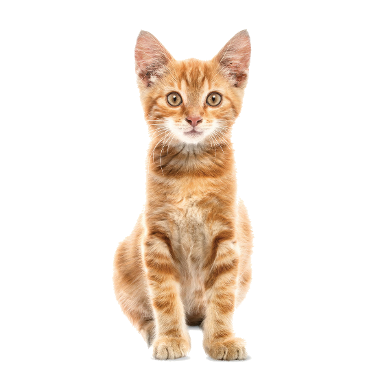 Orange Kitten Wall Sticker