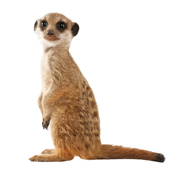 Meerkat Wall Sticker