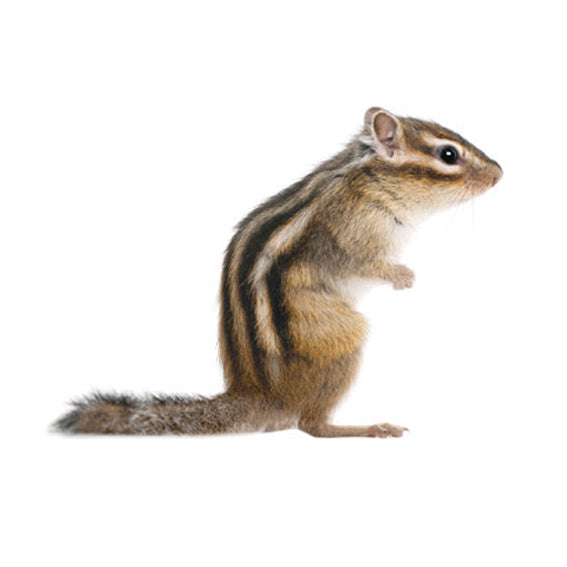 Chipmunk Wall Sticker