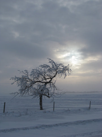 A prairie hardy plum tree during winter