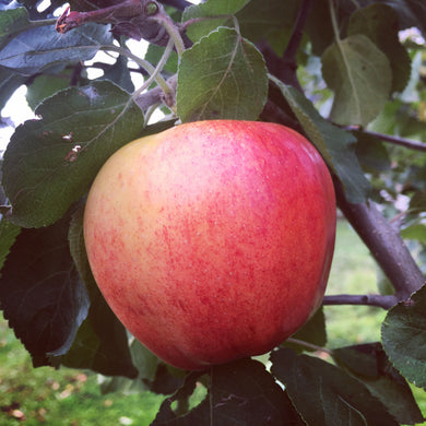 Prairie Sensation Apple