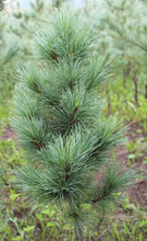 Load image into Gallery viewer, Siberian Pine