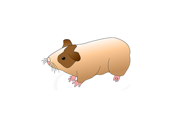 Innovative Grade US Origin Hamster Syrian Gold Liver