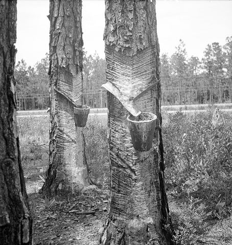 """""""Herty system"""" in use on turpentine trees in Northern Florida, circa 1936"""