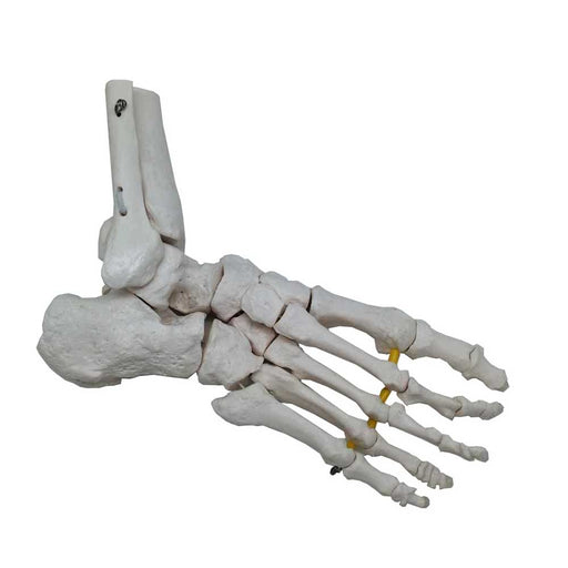 Foot Skeleton Model With Portion Of Tibia And Fibula