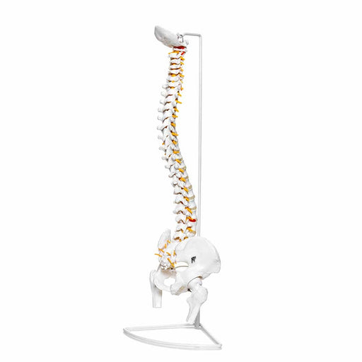 Human Spine Model With Stand