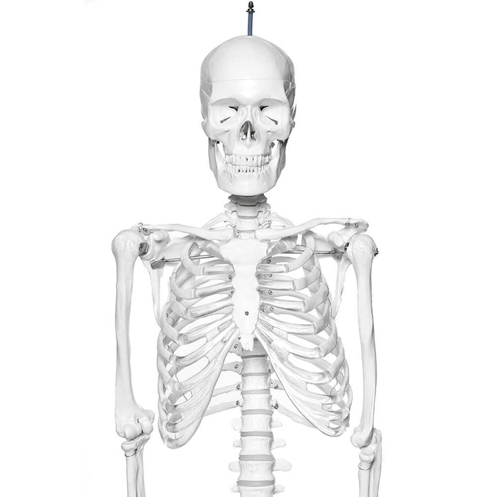 Human Skeleton Model With Stand On Wheels