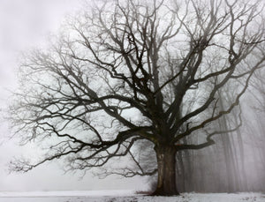 Big Oak & Fog
