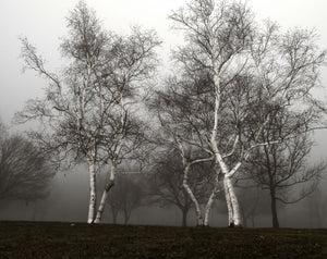 Dancing Birches in Fog