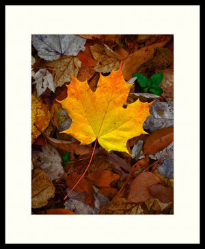 Framed Print - Perfect Maple