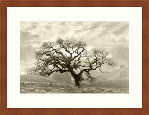 Framed Print - Lone Oak