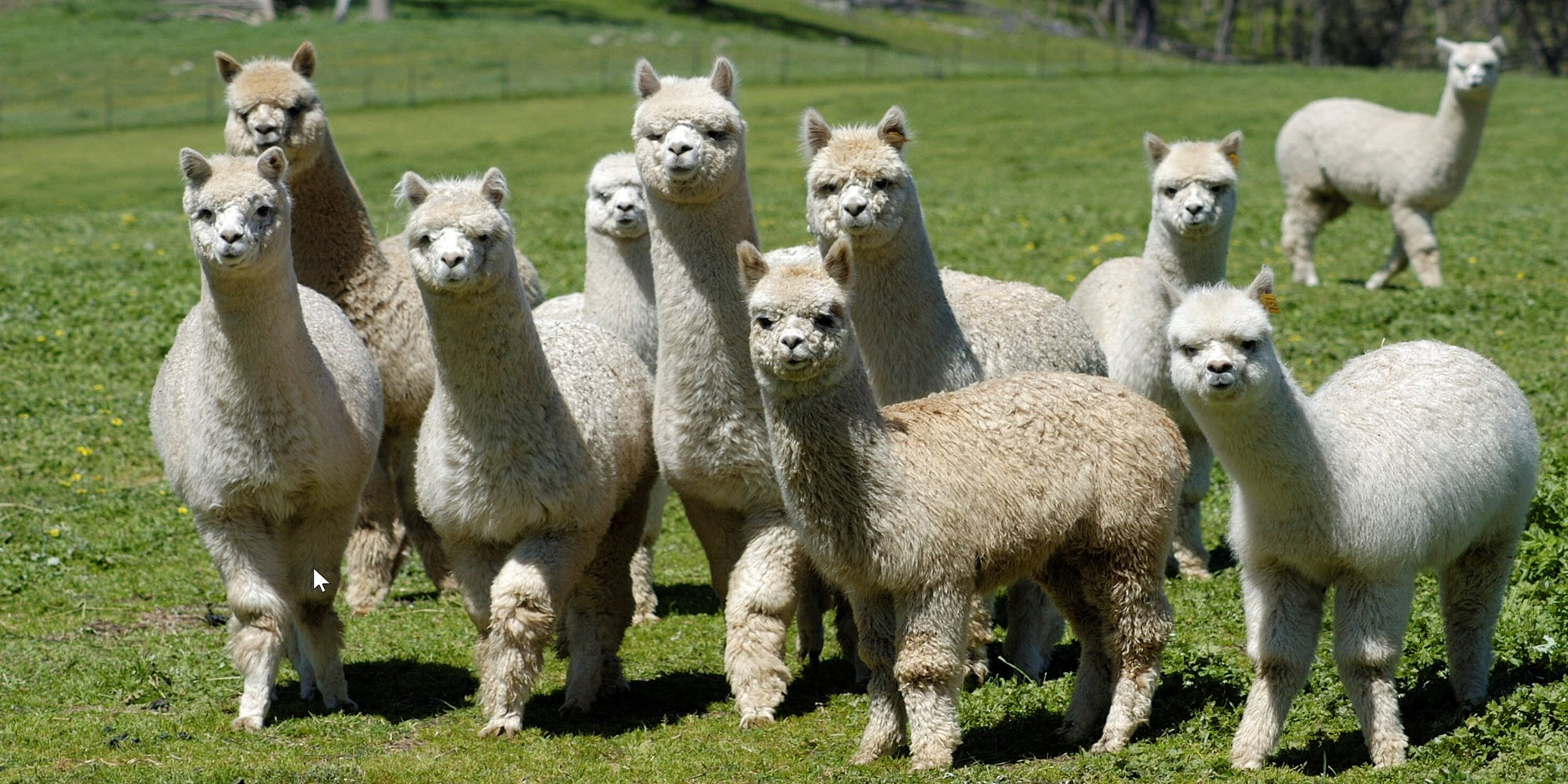 a group of alpacas in Australia