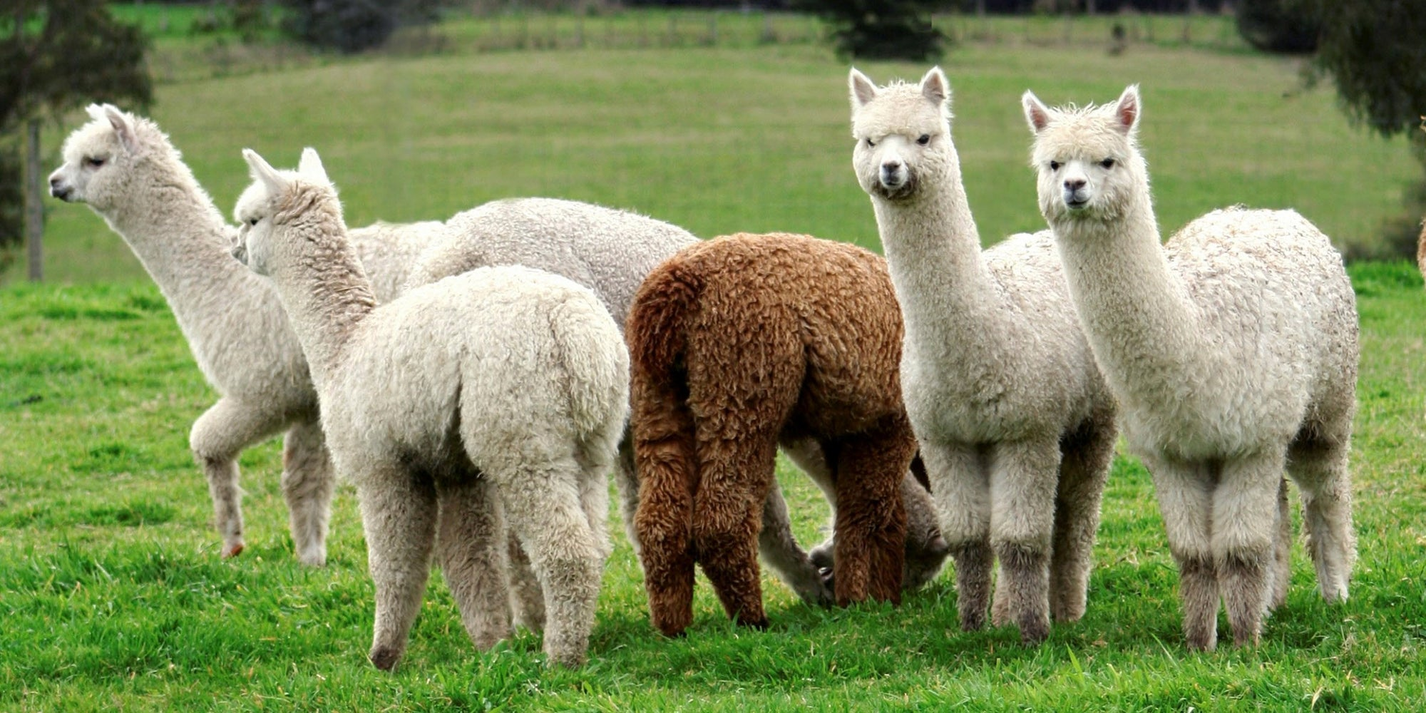 australian alpaca fibre is world class
