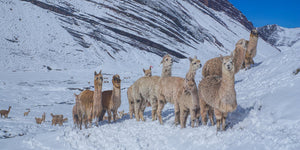 Alpacas in the snow on the Andes mountains in Peru
