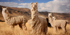 alpacas in field