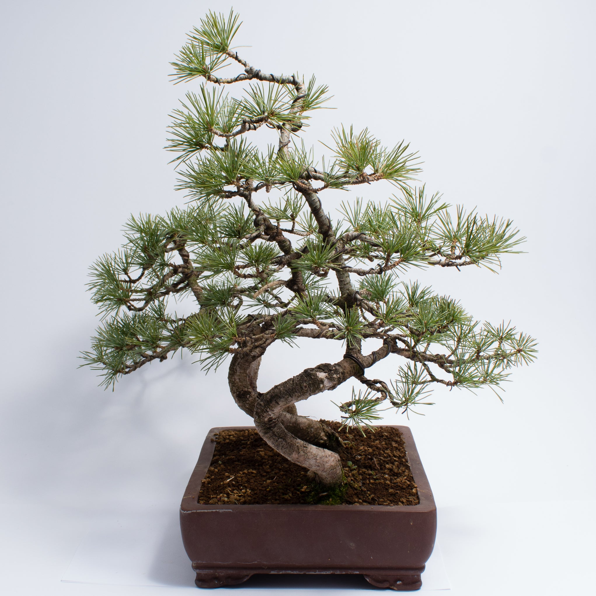 Japanese White Pine Forest #5