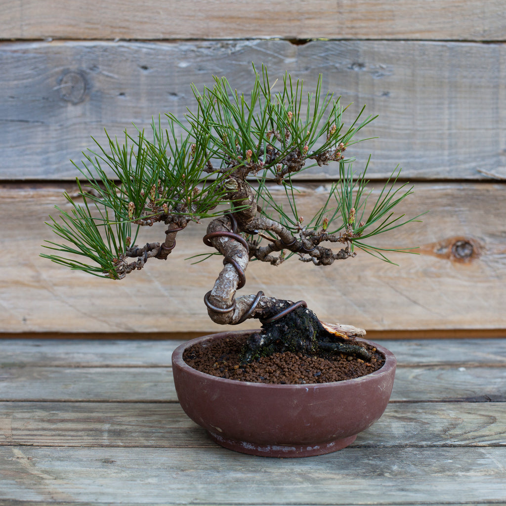 Japanese Red Pine #48