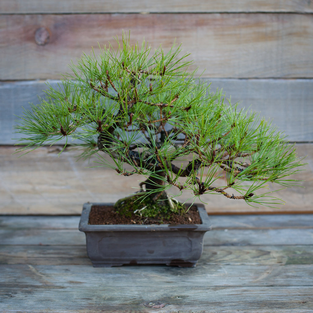 Japanese Red Pine #11
