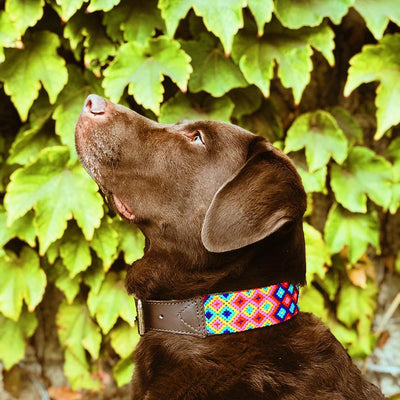 Chocolate Labrador wearing AMOR Handmade Dog Collar PRIMAVERA