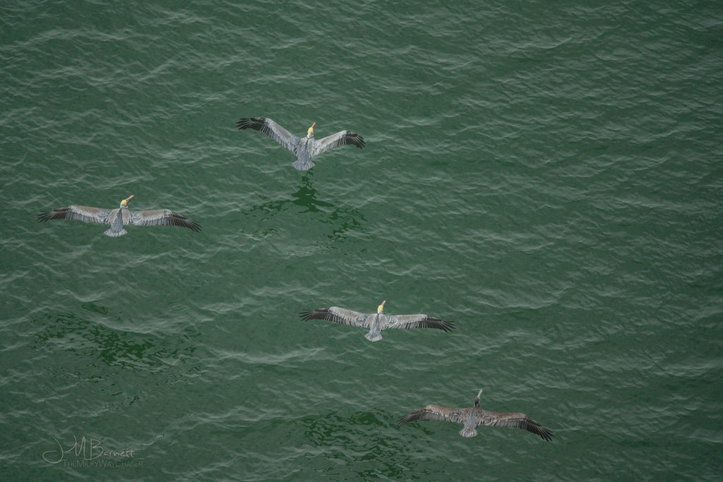 Pelicans From Above