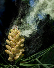 Load image into Gallery viewer, Pine Pollen