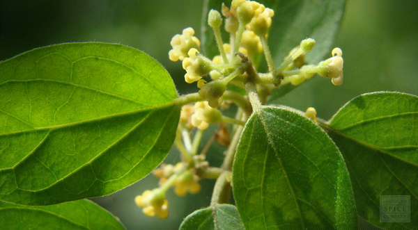 The Gymnema Sylvestre Leaf