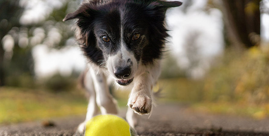 A white and black dog chashing down a yellow and grey be one breed sturdy tennis ball.