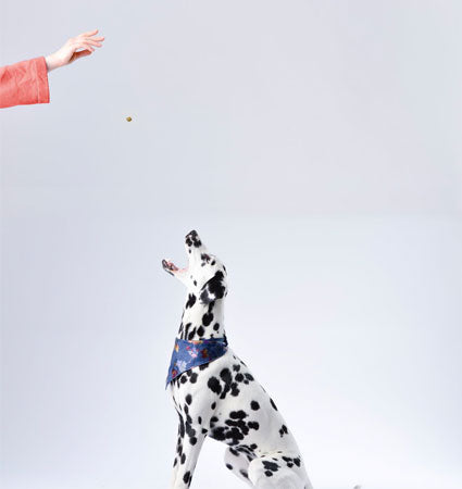 A dalmation dog getting a Crumps Beef Liver Mini Trainer tossed into its mouth