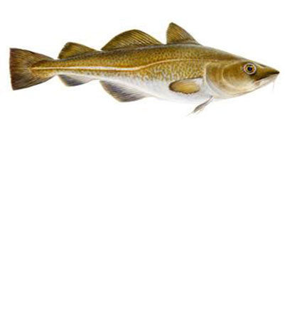 A realistic drawing of a cod fish