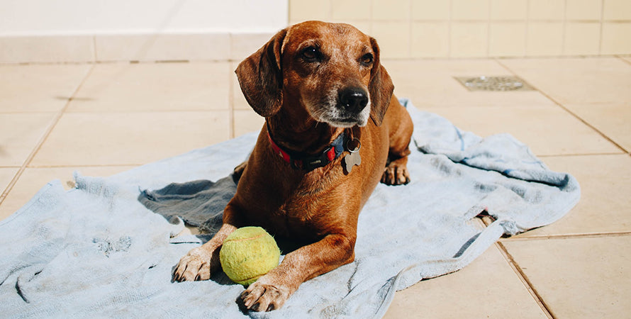 An older brown short-haired dog laying on a towel by the pool with a tennis ball.