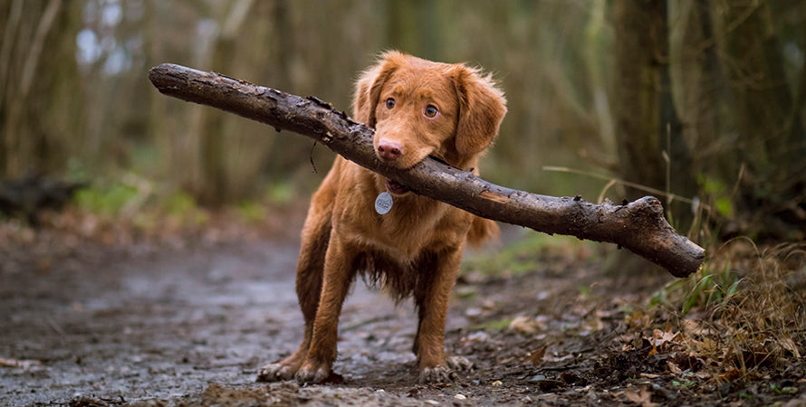 A small brown dog carrying a large log in its mouth trudging through the mud.