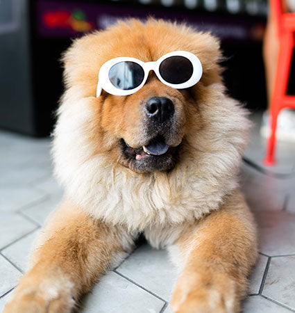 A Chinese Chow wearing sunglasses.