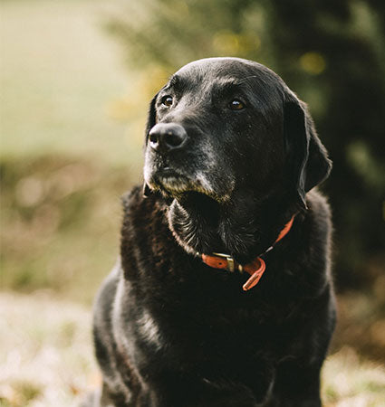 An older black lab sitting in grass.