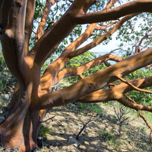 Load image into Gallery viewer, Pacific Madrone