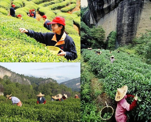 You Pick Your Own Tea (Oolong Tea)