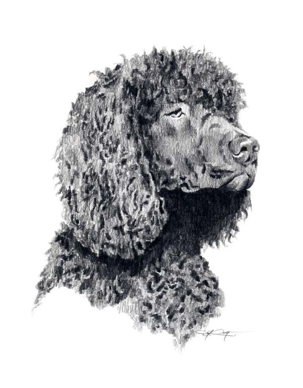 A Irish Water Spaniel portrait print based on a David J Rogers original watercolor