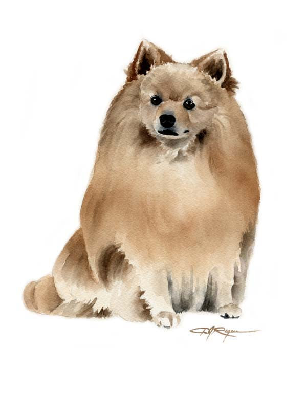 A German Spitz portrait print based on a David J Rogers original watercolor