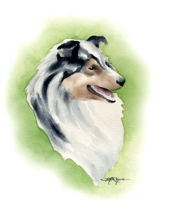 A Shetland Sheepdog 0 print based on a David J Rogers original watercolor