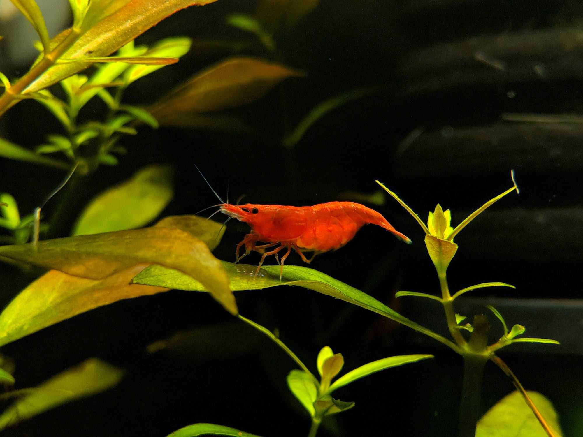 How To Breed Cherry Shrimp