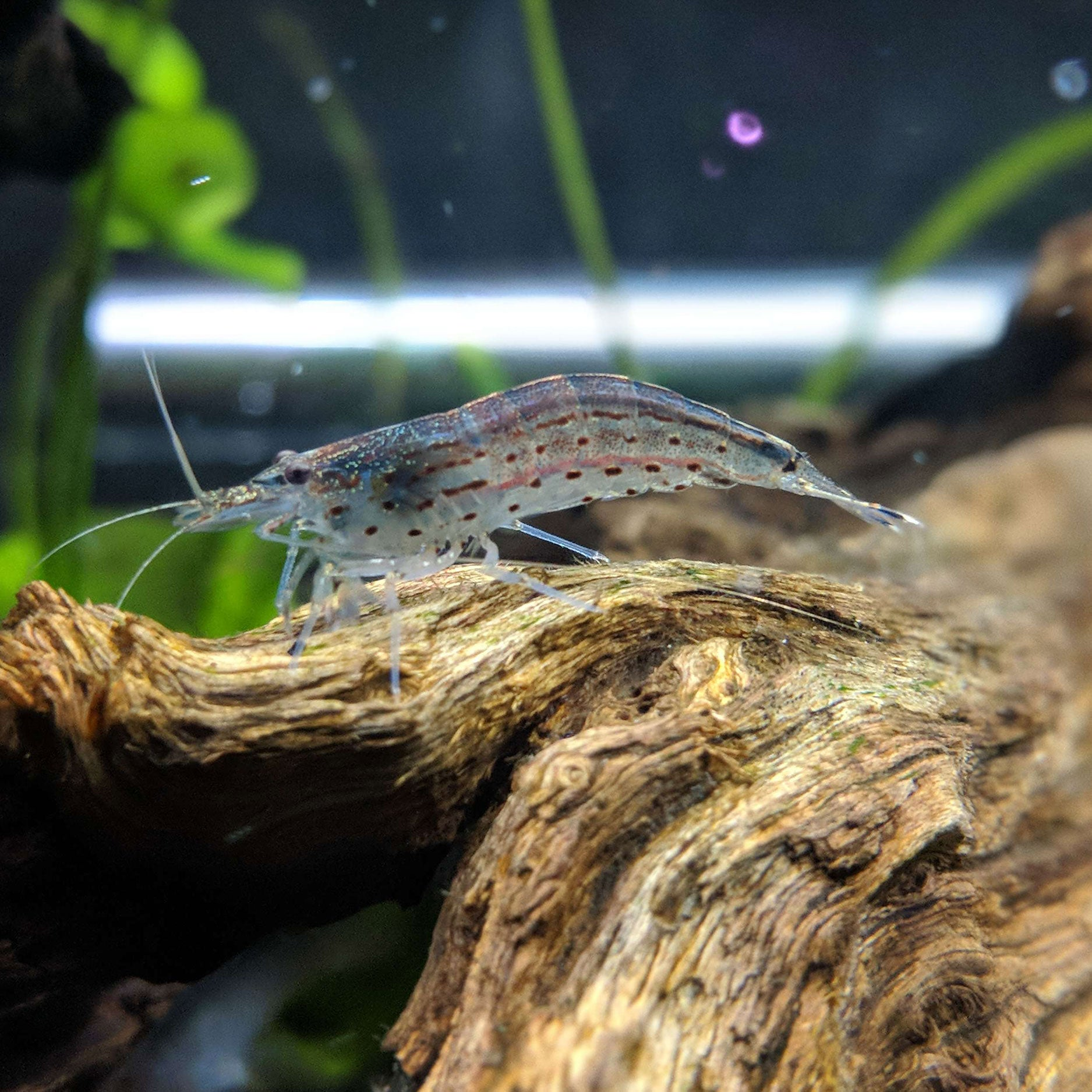 5 Amano Shrimp Aquarium Shrimp