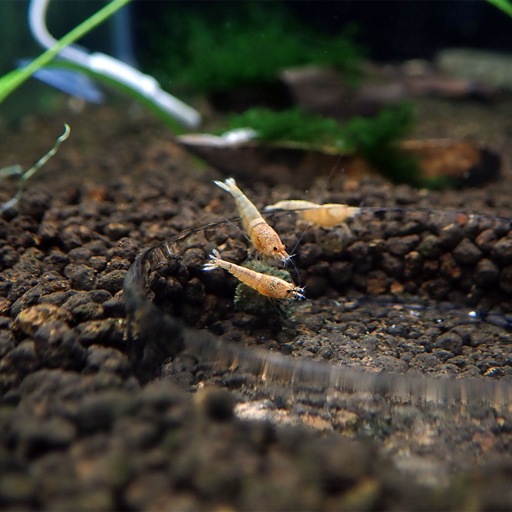 Golden Bee Shrimp Aquarium Shrimp